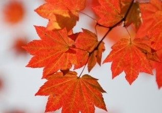 bigstock-Red-Wine-Maple-Leaf-Abstract-3847547 (1)
