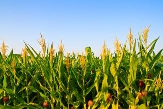 bigstock-corn-plant-and-flower-against--46477669